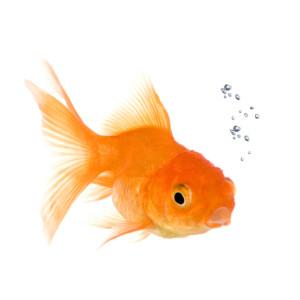 iStock_000003998300SmallGoldfish