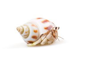 pet hermit crab