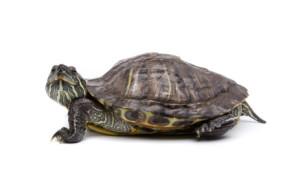 iStock_000013796496XSmall aquatic turtle