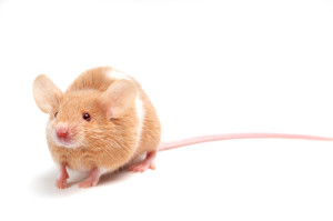 iStock_000015275780Small Mouse
