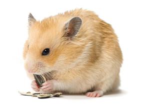 iStock_000016030241Small dwarf hamster 2