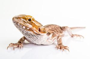 iStock_000019194005XSmall Beared Dragon
