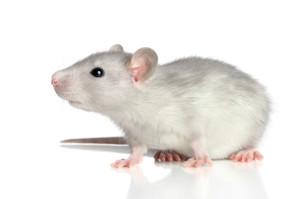 classroom pet rat