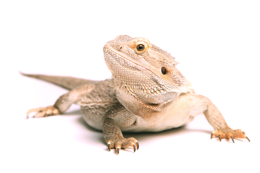 Consider a Reptile with Pets in the Classroom | Education Grants