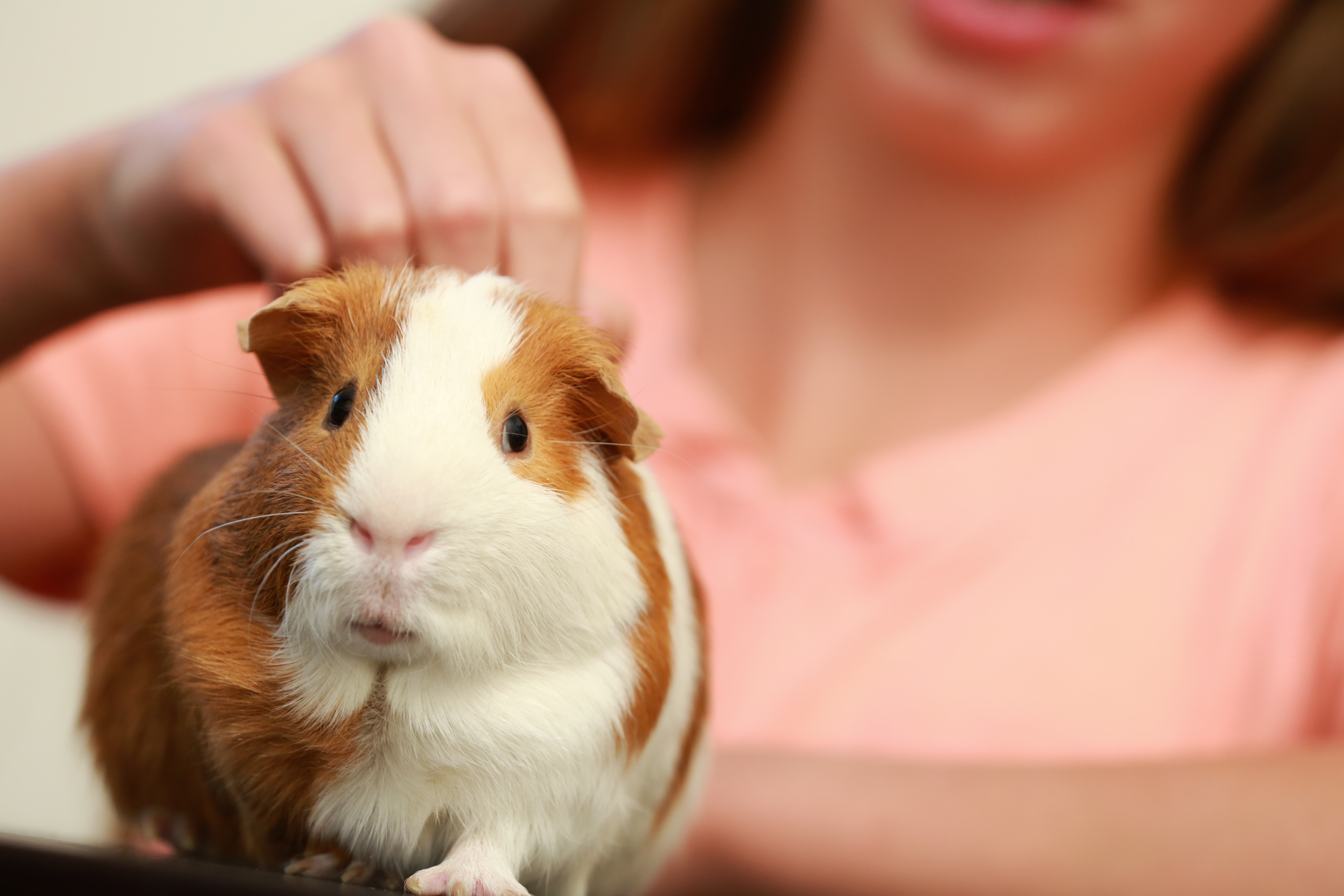 petting guinea pig classroom pet