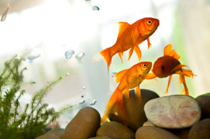Pets in the Classroom aquarium
